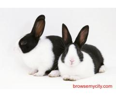Buy Healthy Rabbits for Sale in Gurgaon at Affordable Price