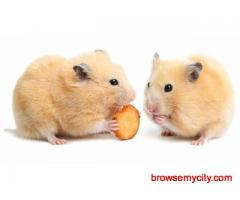 Buy Healthy Hamsters for Sale in Panipat at Affordable Price
