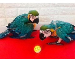Top quality macaw parrot available in Bangalore