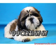 Outstanding quality shihtzu puppies for sale in Bangalore