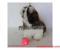 Outstanding show prospect shihtzu puppies for sale in Bangalore