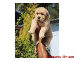 Superb quality golden retriever puppies for sale in Bangalore