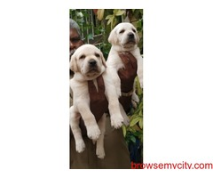 Extraordinary quality labrador puppies for sale in Bangalore