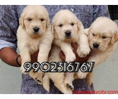 Extraordinary quality Golden retriever puppies for sale in Bangalore