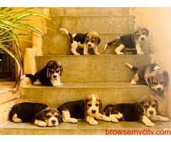 Amazing quality beagle puppies for sale in Bangalore