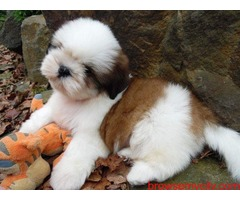 superb quality shih tzu puppies available in bangalore