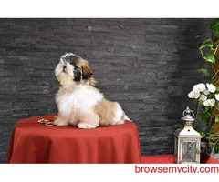 top most quality breed shih tzu puppies available in bangalore