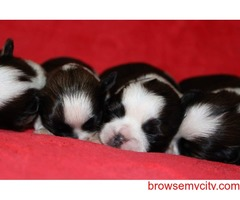 outstanding quality shh tzu puppies available in bangalore