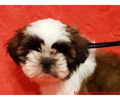 extra ordinary quality breed shih tzu puppies for sale in bangalore