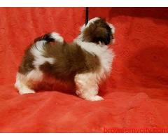 fabulous quality breed shih tzu puppies for sale in bangalore