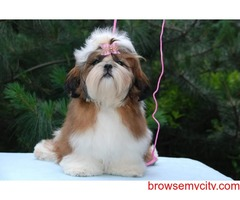 outstanding quality breed shih tzu puppies available in bangalore