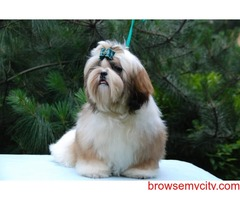 show breed qulity breed shih tzu puppies available in bangalore