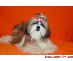 show quality breed shih tzu puppies avaiable in bangalore