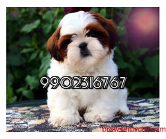 very outstanding quality shih tzu puppies for sale in bangalore