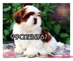 top quality shih tzu puppies for sale in bangalore