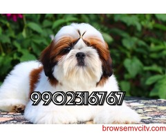 excellent breed quality shih tzu puppies for sale in bangalore