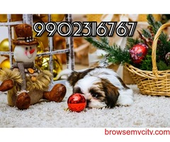 very extra ordinary shih tzu puppies for sale in bangalore