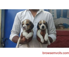 extra ordinary beagle puppies for sale in bangalore