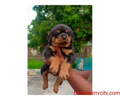 extraordinary quality rottweiler puppies for sale in bangalore