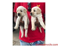 outstanding quality labrador puppies for sale in bangalore