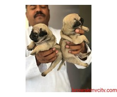 extraordinary pug puppies for sale in bangalore