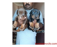 extraordinary doberman puppies for sale in bangalore