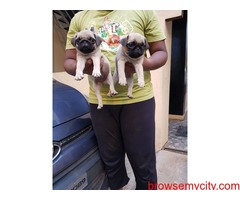 extraordinary quality pug puppies for sale in bangalore