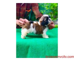 amazing quality shih tzu puppies for sale in bangalore