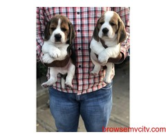 extraordinary quality beagle puppies for sale in bangalore