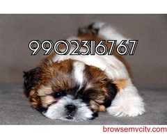 very gorgeous quality shih tzu puppies for sale in bangalore