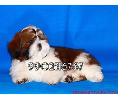 very beautiful quality breed shih tzu puppies for sale in bangalore