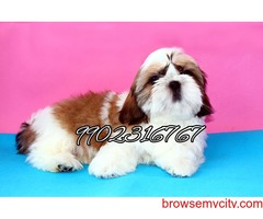 very good quality shih tzu puppies for sale in bangalore