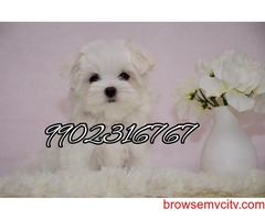 outstanding quality maltese puppies for sale in bangalore