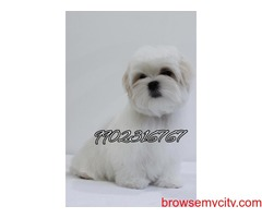 very extraordinary maltese puppies for sale in bangalore