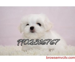Maltese puppies for sale in bangalore