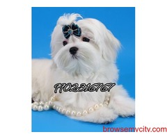 top quality maltese puppies for sale in bangalore