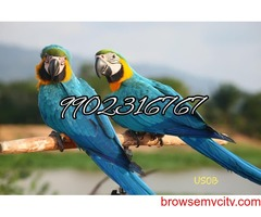 superb quality macaw parrots for sale in bangalore