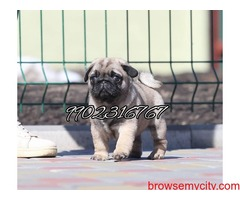 very outstanding quality pug puppies for sale in bangalore