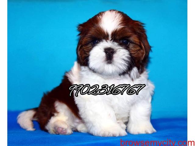 Shihtzu puppies for sale in bangalore - 1/5