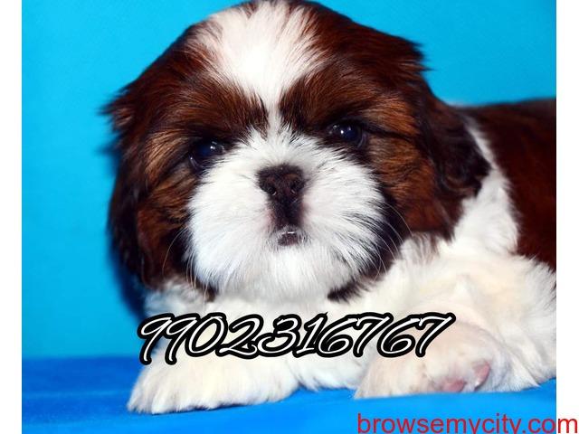 Shihtzu puppies for sale in bangalore - 2/5
