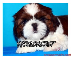 Shihtzu puppies for sale in bangalore