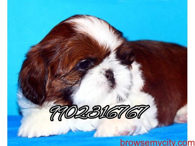 Shihtzu puppies for sale in bangalore - 3/5