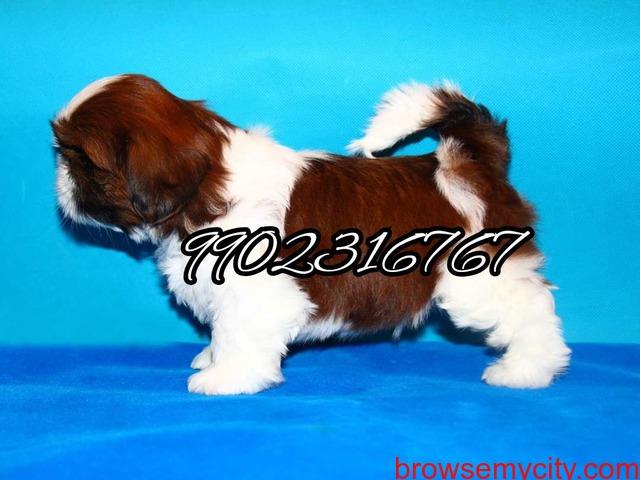 Shihtzu puppies for sale in bangalore - 4/5