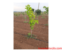 Highway Face Red Sandalwood &Agar wood Plantation Plots Near By : Addanki