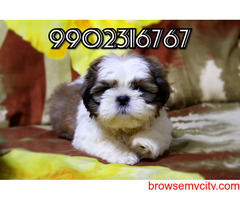 very healthy breed shih tzu puppies for sale in bangalore