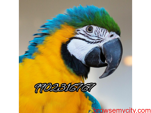 Outstanding tamed blue and gold macaw parrot for sale in Bangalore - 1/5