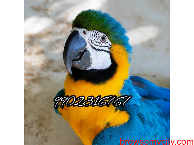 Outstanding tamed blue and gold macaw parrot for sale in Bangalore - 2/5