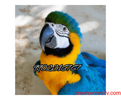 Outstanding tamed blue and gold macaw parrot for sale in Bangalore