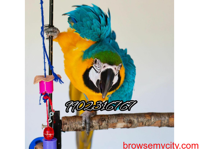 Outstanding tamed blue and gold macaw parrot for sale in Bangalore - 3/5