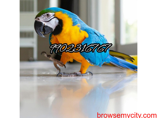 Outstanding tamed blue and gold macaw parrot for sale in Bangalore - 4/5